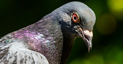 IMG_0393 (darrenalexander) Tags: park macro london up canon child close pigeon hill 7d wildlifeuk