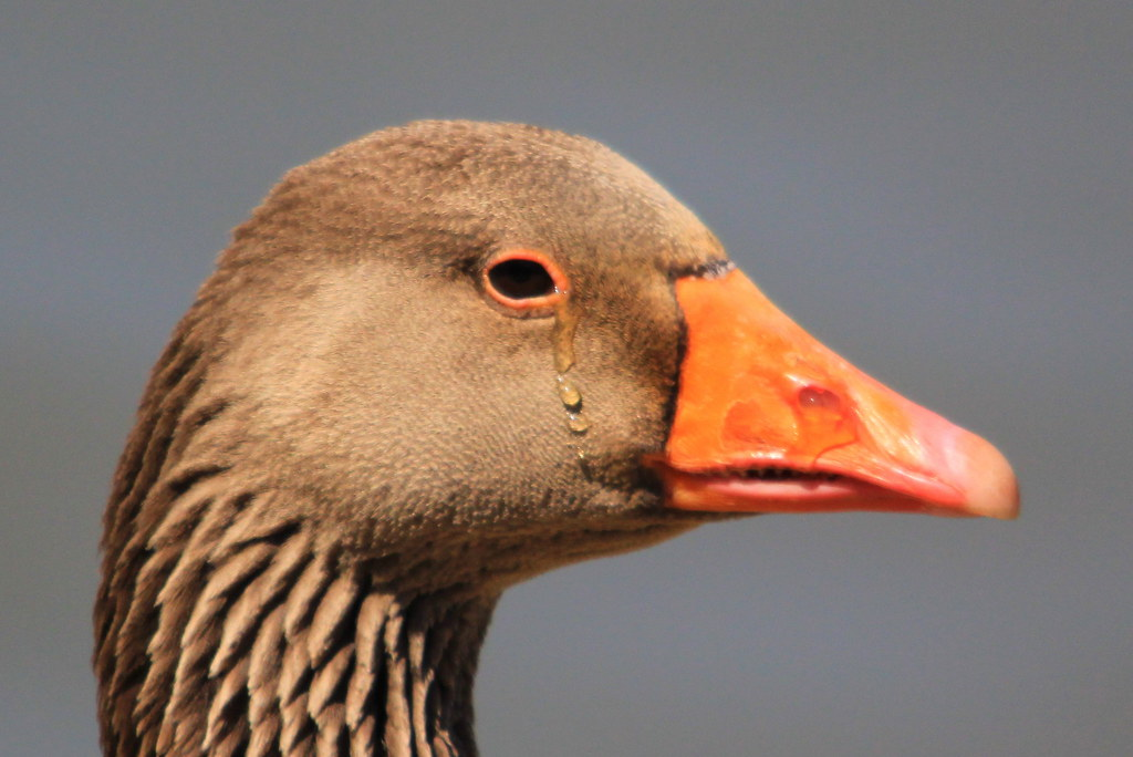 Crying Goose