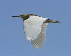2014-06-14 Pune 10 (JanetandPhil) Tags: india birds nikon maharashtra nikkor pune d800 indianpondheron ardeolagrayii paddybird 200400mmf4 pashanlake businesstripstoindia pashansuburb
