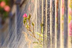 Webs on roses (Tesserolli) Tags: flowers roses brazil flores brasil canon br sopaulo web sp rosas webs teia sopaulobrasil saopaulobrazil teias sopaulobrazil pedreirasp tesserolli canoneosrebelt3i cidadedepedreira pedreiraspbrasil pedreiraspbrazil websonroses teiassobreasrosas