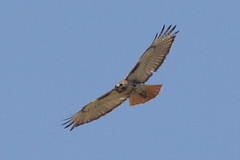 soaring-52.jpg (Scott Alan McClurg) Tags: wild summer nature fly flying spring pond hawk neighborhood buzzard soaring flapping flap soar redtailedhawk naturephotography lifewildlife