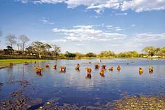 Capivaras se Banhando no Lago, Pantanal (Fandrade) Tags: brazil nature animal brasil wildlife natureza wildanimal pantanal wetland faune vidaselvagem desanimaux animalselvagem animalsauvage faunabrasileira lebrsil brazilianfauna deszoneshumides capivaramamifero capybaramammal lafaunebrsilienne mammifrecapybara  capybarainthelake capivarasnolago rebanhodecapivaras capivarasnopantanal capybarasinwetland herdofcapybaras