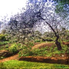 (C.Bry@nt) Tags: park parque trees naturaleza tree apple nature oslo norway arbol norge natur norwegian photofriday noruega akershus tre scandinavian iphone parken norsk norske skandinavia tøyenhagen iphone5 iphoneography