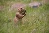 2014_Temple_OK_9823 (bdill) Tags: oklahoma ok prariedogs eatinggrass
