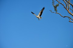 DSC_0049 (RUMTIME) Tags: bird nature birds fly flying flight feathers feather queensland seaeagle coochie coochiemudlo