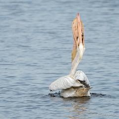 Down the Hatch! (craig goettsch) Tags: bird nature nikon wildlife avian americanwhitepelican d610 dingdarlingnwr usnwr