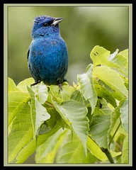 Little Boy Blue (Carolyn Lehrke) Tags: blue boy wild usa tree male green nature birds little indigo wv perched avian nikond3200 indigobunting greenbriercounty