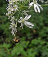 Upsidedown (Bricheno) Tags: macro bug insect scotland fly escocia szkocja hoverfly schottland scozia cosse  esccia   bricheno scoia