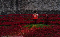 The Last Post DSC_2833.jpg (Sav's Photo Gallery) Tags: uk london cemetery guard fallen poppy poppies ww1 toweroflondon beefeater bugle commemoration thelastpost d7000 savash