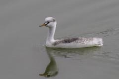 Clark's Grebe - Juvenile (Bob Gunderson) Tags: sanfrancisco california birds northerncalifornia lakemerced concretebridge grebes clarksgrebe aechmophorusclarkii
