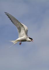 Arctic Tern in flight (Margaret S.S) Tags: scotland flight may arctic isle tern