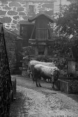 1641  solta. (orxeira) Tags: portugal rua paredes vaca espigueiro aldeia 2014 1641 montalegre barros paredesdorio agosto14 orxeira agosto2014 orxeiraagosto14 1641641