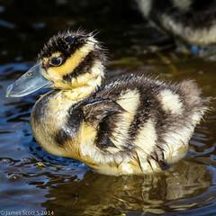 20140819 70D Wakodahatchee 96 (James Scott S) Tags: nature birds canon scott james wildlife birding s wetlands everglades ef wakodahatchee 100400 70d lr5