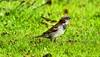 House Sparrow (Now flying with the angels xx) Tags: house grass yorkshire sparrow topshots natureplus photosandcalendar natureselegantshots faunaandfloraoftheworld panoramafotográfico thebestofmimamorsgroups theoriginalgoldseal flickrsportal onlythebestofflickr