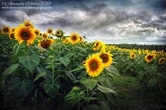 Nature's Theatre (sminky_pinky100 (In and Out)) Tags: travel flowers summer canada tourism floral yellow landscape novascotia scenic exhibition textures talent sunflowers colourful sunflowerfield omot cans2s sunflowermaze masterclassexhibition masterclasselite