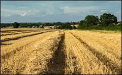 Freshly Harvested (Steve Sutherland Photography) Tags: uk england field nikon farm wheat farming grain harvest agriculture esses gestingthorpe