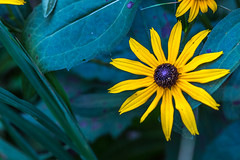 WoodlakeNatureCenter-08232014-545-FB1 (Aju Jayapal) Tags: minnesota unitedstates minneapolis yellowflower woodlakenaturecenter