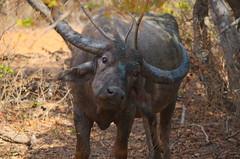 Water buffelo