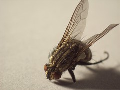101_2312 (Marcel Oczkowski) Tags: shadow macro animal fly kodak simple helios invertedlens 44m c813