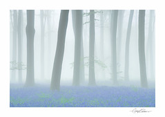 Micheldever Bluebell Mist (George-Edwards) Tags: wood uk morning blue trees light england cloud mist nature misty fog bluebells forest sunrise woodland landscape dawn countryside spring atmosphere ferns beech 2014 micheldever georgeedwards