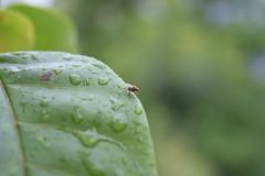 The Fly (pedropk_1983) Tags: wet water gua fly leaf chuva gotas raindrops folha mosca molhada molhado