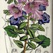 Befaria aestuans and Phacelia grandiflora (1856)