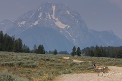 A pronghorn crosses the road with Mount Moran in the background