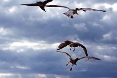 Brighton, seagulls - 16.08.2014 (Giada Garofalo) Tags: seagulls beach birds canon flying brighton august uccelli volo agosto 7d spiaggia gabbiani