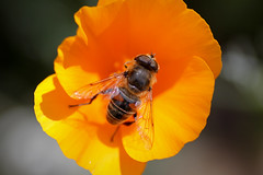 Eristalis sp. - Courtyard - 19th August (Laura Whitehead) Tags: californianpoppy hoverfly eristalis eristalissp
