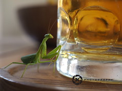 Manits Wanting Beer (jan-krux photography - thx for 2 Mio+ views) Tags: macro green beer glass animal yellow fauna insect southafrica fun tin olympus gelb lustig mug bier curious insekt gruen spass prayingmantis nahaufnahme tier krug westerncape suedafrika neugierig bierglas bierkrug westkap fangschrecke