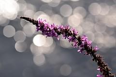 Lythrum salicaria () Tags: pink flowers light bokeh rosa fiori luce lythrum salicaria 300f4afs d7100