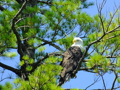 Bald Eagle (RonG58) Tags: pictures new trip travel light usa color bird nature birds fauna forest geotagged photography us photo spring woods flora day image eagle photos live wildlife winthrop birding maine baldeagle picture images photograph digitalcamera migration tori exploration habitat mori haliaeetusleucocephalus birdofprey photooftheday picoftheday birdwalk loiseau fugifilm laforêt natureexploration elpájaro dervogel rong58 finepixhs50exr littlecobbosseelake littlecobbosseecontee