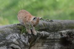 Eurasicher Luchs im Gaia Zoo (Ulli J.) Tags: netherlands zoo nederland paysbas limburg niederlande kerkrade eurasianlynx eurasischerluchs nordluchs euraziatischelynx lynxdeurasie lynxcommun nederlandene gaiazoo lynxboréal loupcervier europæisklos