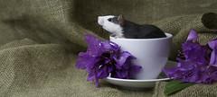 Rat in a cup (Jeanette Svensson) Tags: pet flower cup rat sweden coffe 8545 tassar morrhr jeanettesvensson jeanettesvenssonphotography