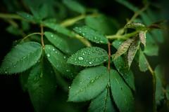 rain drops (dan.levchenko) Tags: green water leaves rain leaf waterdrop rainyday drop rainy raindrops waterdrops greenleafs