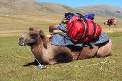 Loaded and ready to go (ActAlan) Tags: mountains hiking mongolia camel captive steppe bactriancamel twohumpedcamel uvsprovince