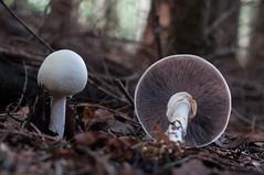 Agaricus sp. (pawannee) Tags: mushroom closeup pilze agaricus pilz silvicola agaricussilvicola klosterwald agaricusessettei essettei