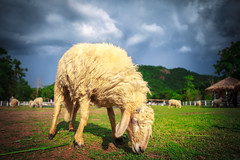 Sheep (Patrick Foto ;)) Tags: new summer sky baby white cute green wool nature beautiful field grass animal rural landscape mammal countryside spring day sheep natural outdoor farm background farming young meadow farmland zealand pasture lamb lambs agriculture