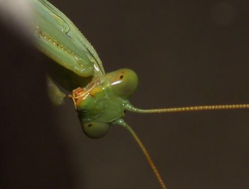 Giant Rainforest Mantis Size Giant Rainforest Mantis
