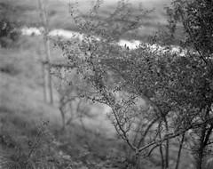 (case-ie) Tags: film nature blackwhite 4x5 polder bushes largeformat prunusspinosa efke100 graflexanniversaryspeedgraphic kodakaeroektar257inch178mm