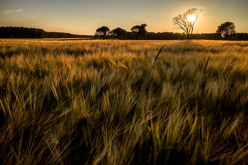 Barley Savanna