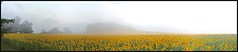 RD-110-259 Field of Sunflowers on a Foggy Morning #Retcon [explore 09-17-14] (misterperturbed) Tags: autostitch fog panoramic sunflowers ios pixlromatic