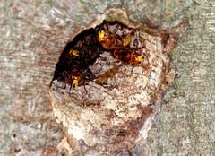 Faces at the front door! (SteveJM2009) Tags: uk autumn tree face hole nest entrance september dorset arne hornet hornets stevemaskell 2014 rspb vespacrabro