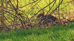 Look (Daphne-8) Tags: rabbit wildlife wild kaninchen grass green spring eye animal tier frühling hase