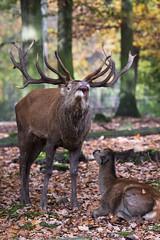 Red deer pic (Cloudtail the Snow Leopard) Tags: rotwild rothirsch hirsch red deer cervus elaphus wildpark pforzheim tier animal mammal säugetier