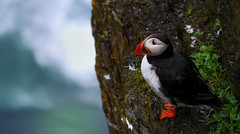 On the Edge (whidom88) Tags: puffin skelig michale ireland island clisss