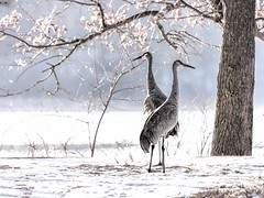 Sandhil Cranes In Profile (Wes Iversen) Tags: brighton hss kensingtonmetropark michigan milford sandhillcranes sliderssunday tamron150600mm birds branches ice nature painterly snow trees winter gruscanadensis