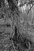 Hulland Strangler (nellaretep) Tags: vine tree strangled ivy