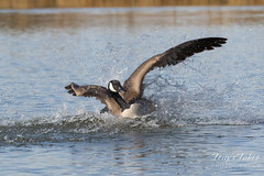 March 18, 2017 - A Canada Goose splashes down. (Tony's Takes)