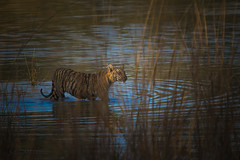 Spotlight (Shot on Safari) Tags: maya tadoba svasara tiger cub reserve wildlife panderpauni india maharashtra sigma 150 500mm canon 700d